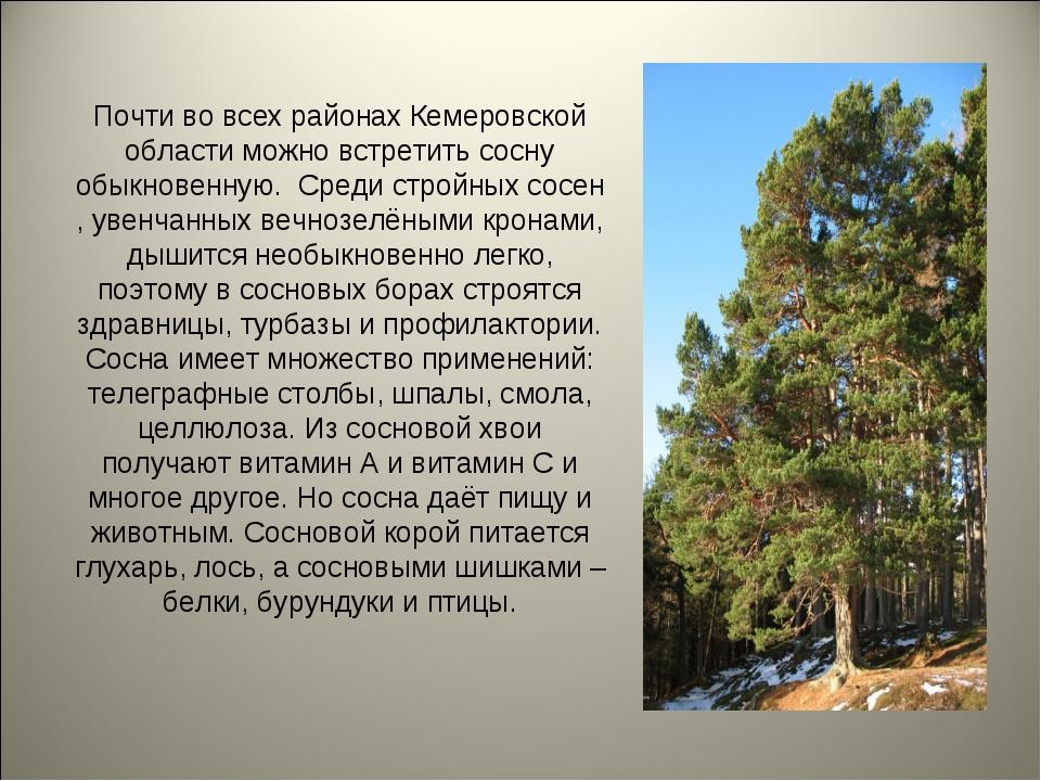 Почти во всех районах Кемеровской области можно встретить сосну обыкновенную....