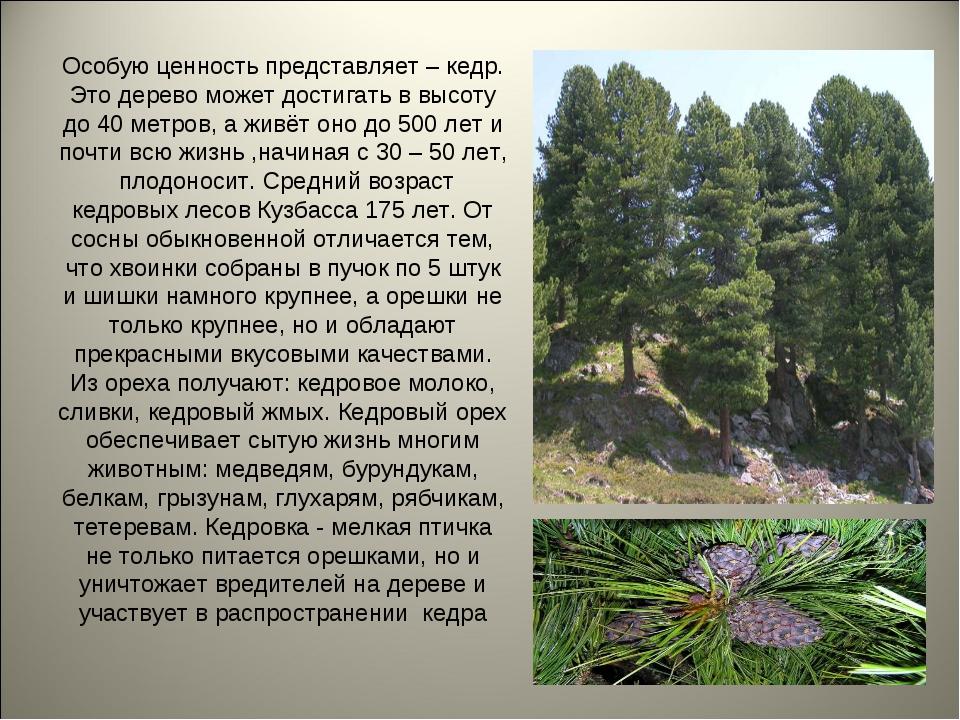Особую ценность представляет – кедр. Это дерево может достигать в высоту до 4...