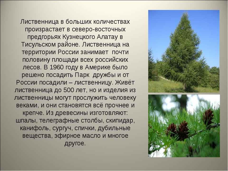 Лиственница в больших количествах произрастает в северо-восточных предгорьях...