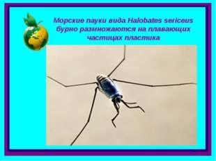 Морские пауки вида Halobates sericeus бурно размножаются на плавающих частица