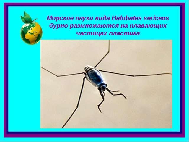Морские пауки вида Halobates sericeus бурно размножаются на плавающих частица...