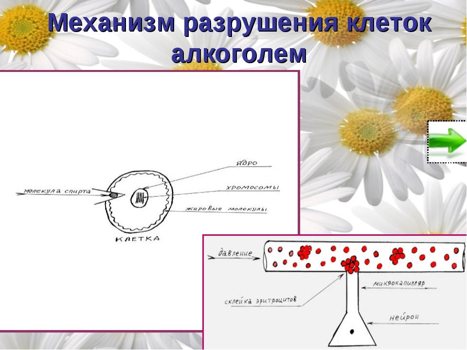 Механизм разрушения клеток алкоголем