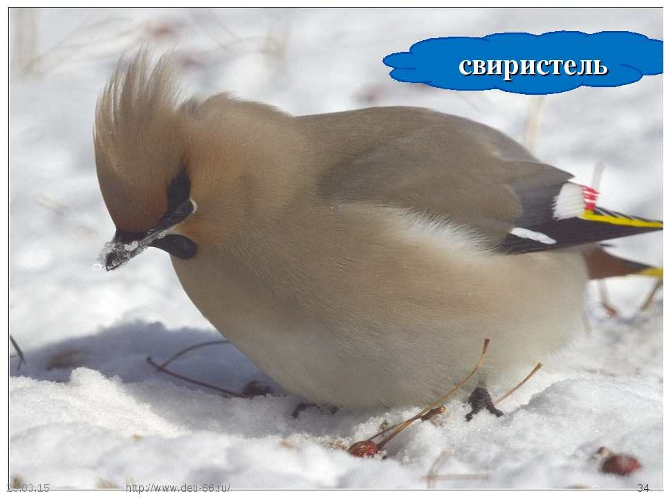 * * свиристель http://www.deti-66.ru/ http://www.deti-66.ru/