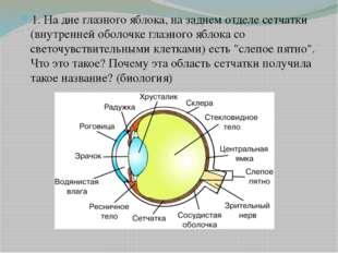 1. На дне глазного яблока, на заднем отделе сетчатки (внутренней оболочке гла
