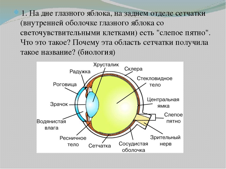 1. На дне глазного яблока, на заднем отделе сетчатки (внутренней оболочке гла...