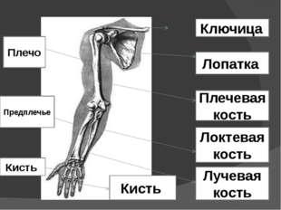 Ключица Лопатка Плечевая кость Локтевая кость Лучевая кость Кисть Плечо Предп