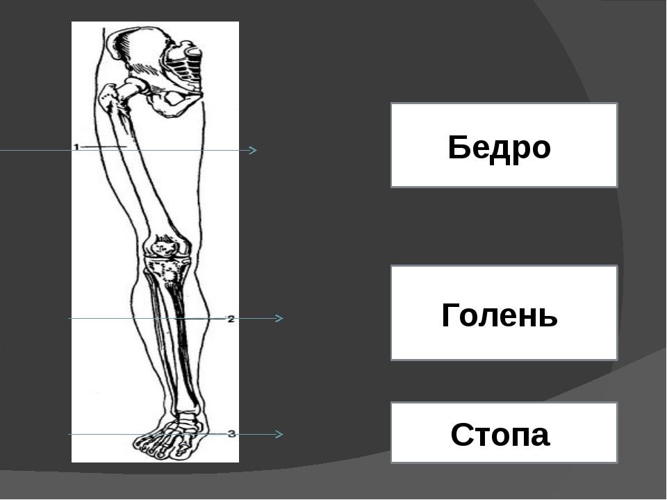 Бедро Голень Стопа