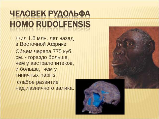 Жил 1.8 млн. лет назад в Восточной Африке Объем черепа 775 куб. см. - гораздо...