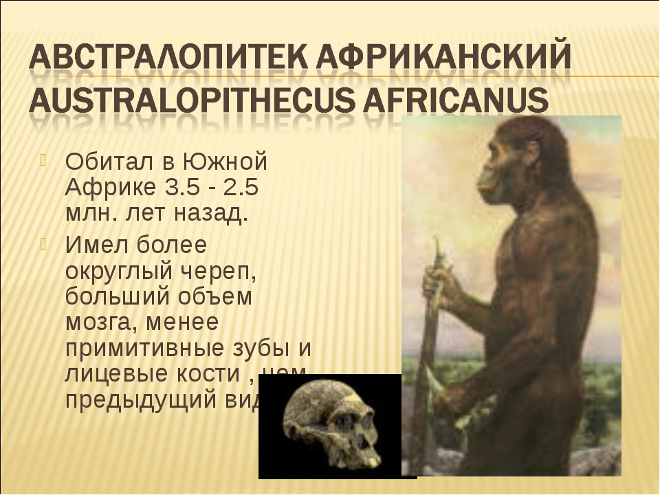 Обитал в Южной Африке 3.5 - 2.5 млн. лет назад. Имел более округлый череп, бо...