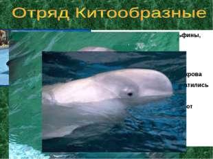 Представители: киты, дельфины, касатки Дышат легкими Тело обтекаемое Кожа не