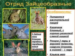 Особенности: Питаются растительной пищей Кишечник длинный, с хорошо развитой