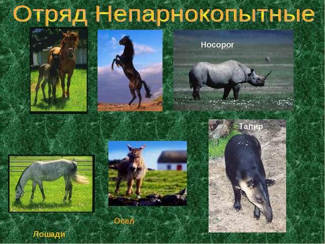 Осел Тапир Носорог Лошади