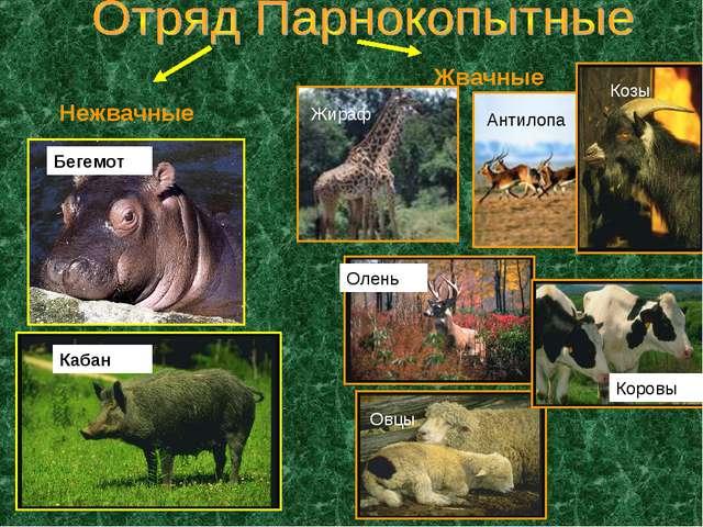 Нежвачные Жвачные Бегемот Кабан Жираф Антилопа Козы Олень Коровы Овцы