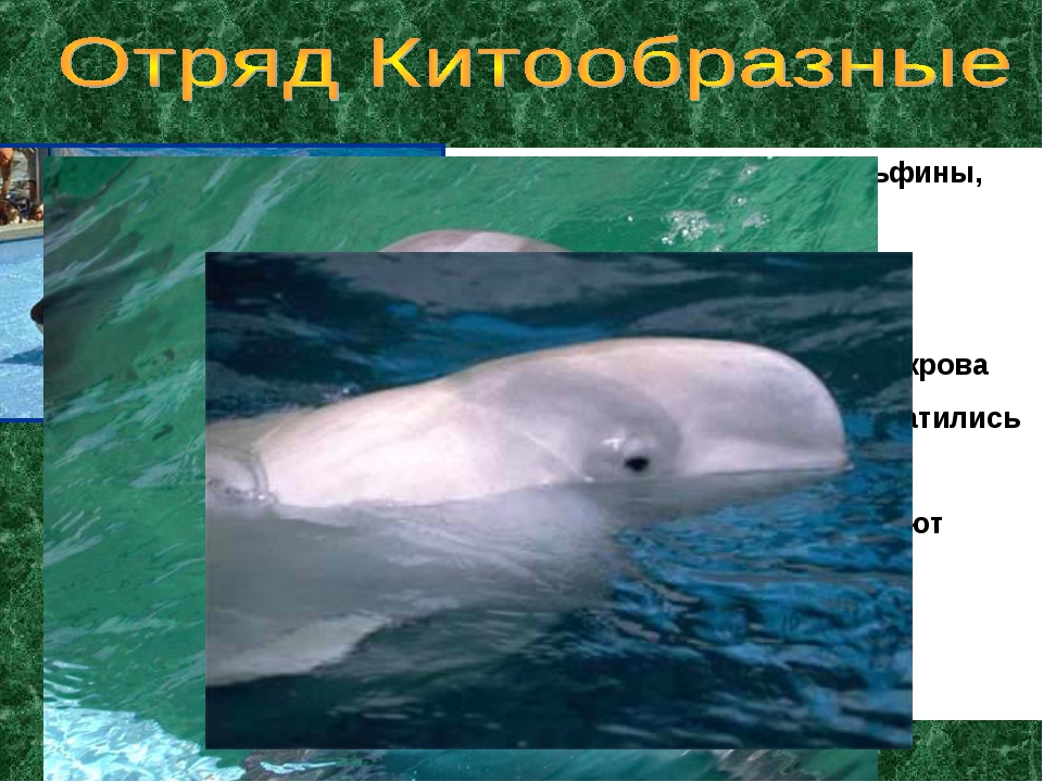 Представители: киты, дельфины, касатки Дышат легкими Тело обтекаемое Кожа не...