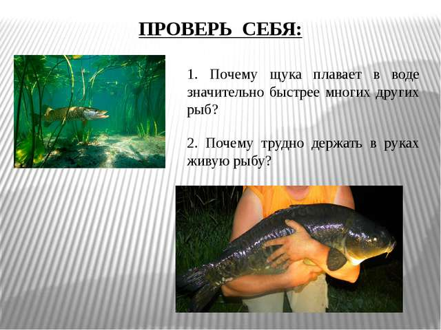 ПРОВЕРЬ СЕБЯ: 1. Почему щука плавает в воде значительно быстрее многих других...