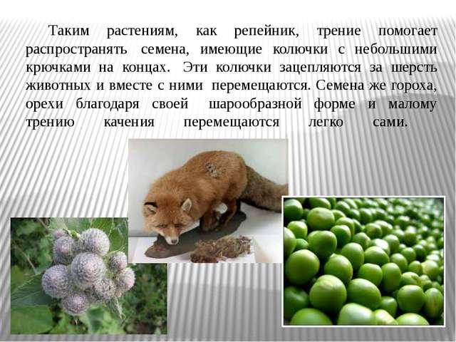 Таким растениям, как репейник, трение помогает распространять семена, имеющ...