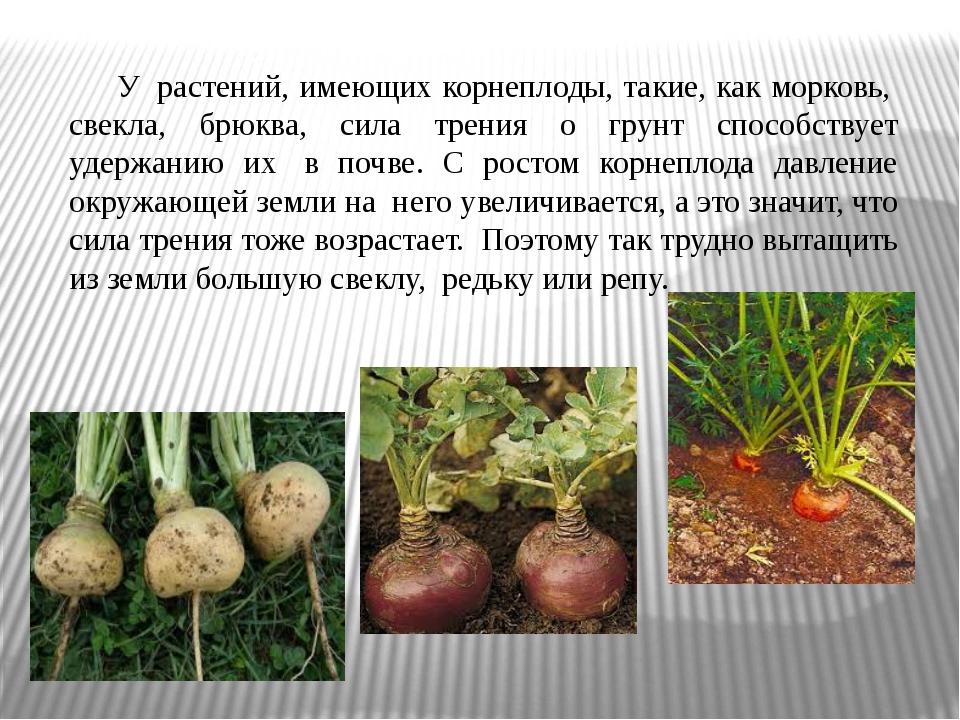 У растений, имеющих корнеплоды, такие, как морковь, свекла, брюква, сила т...