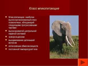 Класс млекопитающие Млекопитающие- наиболее высокоорганизованный класс позвон