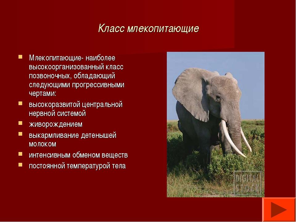 Класс млекопитающие Млекопитающие- наиболее высокоорганизованный класс позвон...