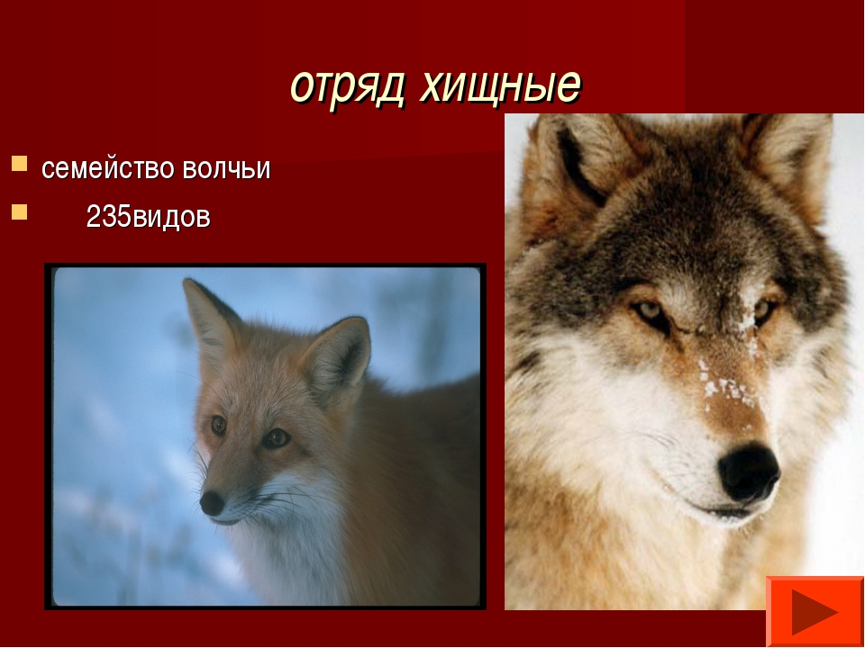 отряд хищные семейство волчьи 235видов