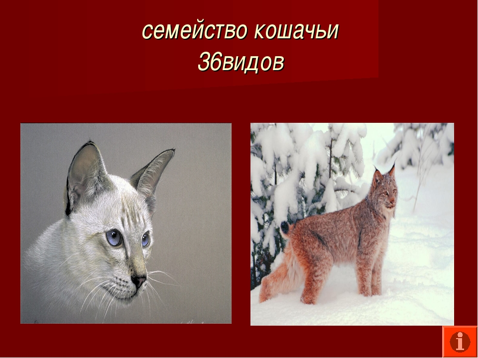 семейство кошачьи 36видов