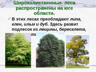 Широколиственные леса распространены на юге области. В этих лесах преобладают