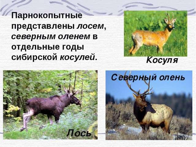Парнокопытные представлены лосем, северным оленем в отдельные годы сибирской...