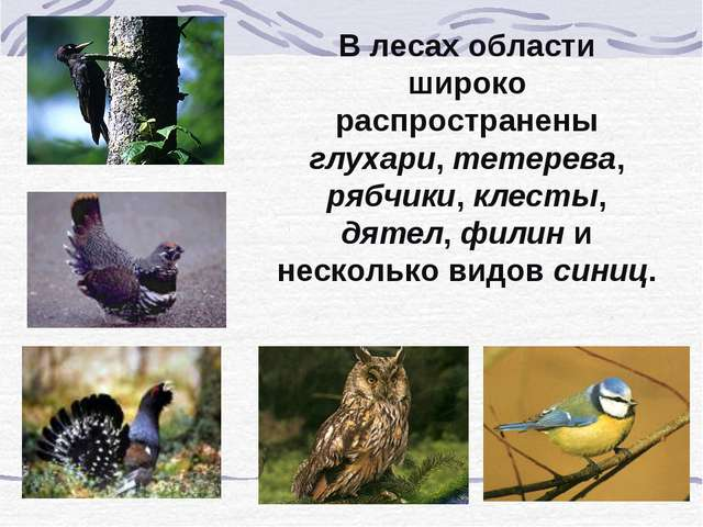 В лесах области широко распространены глухари, тетерева, рябчики, клесты, дят...