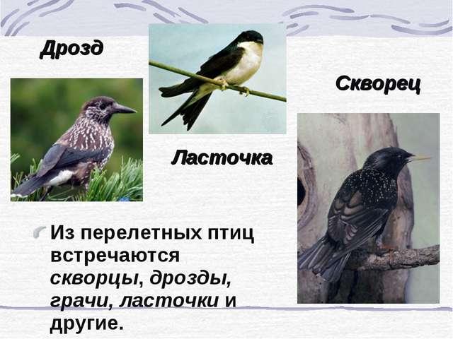 Из перелетных птиц встречаются скворцы, дрозды, грачи, ласточки и другие. Дро...