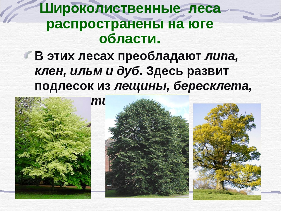 Широколиственные леса распространены на юге области. В этих лесах преобладают...