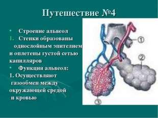 Путешествие №4 Строение альвеол Стенки образованы однослойным эпителием и опл