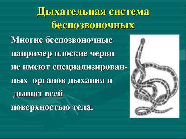 Дыхательная система беспозвоночных Многие беспозвоночные например плоские чер...