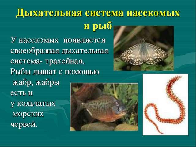 Дыхательная система насекомых и рыб У насекомых появляется своеобразная дыхат...