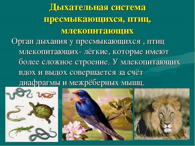 Дыхательная система пресмыкающихся, птиц, млекопитающих Орган дыхания у пресм...