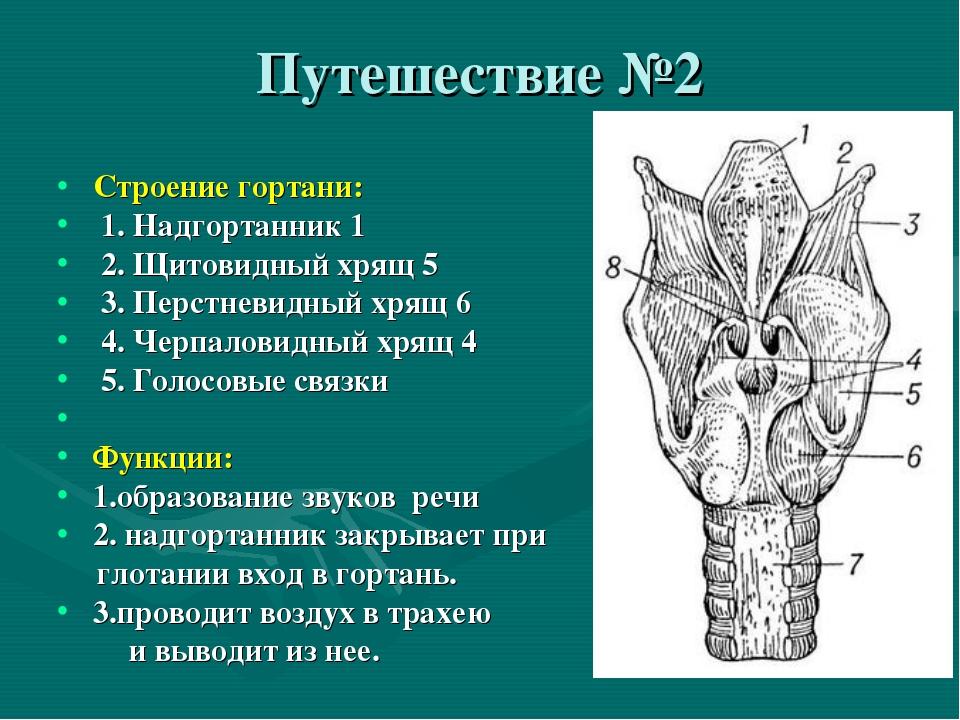 Путешествие №2 Строение гортани: 1. Надгортанник 1 2. Щитовидный хрящ 5 3. Пе...