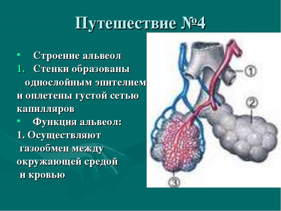 Путешествие №4 Строение альвеол Стенки образованы однослойным эпителием и опл...