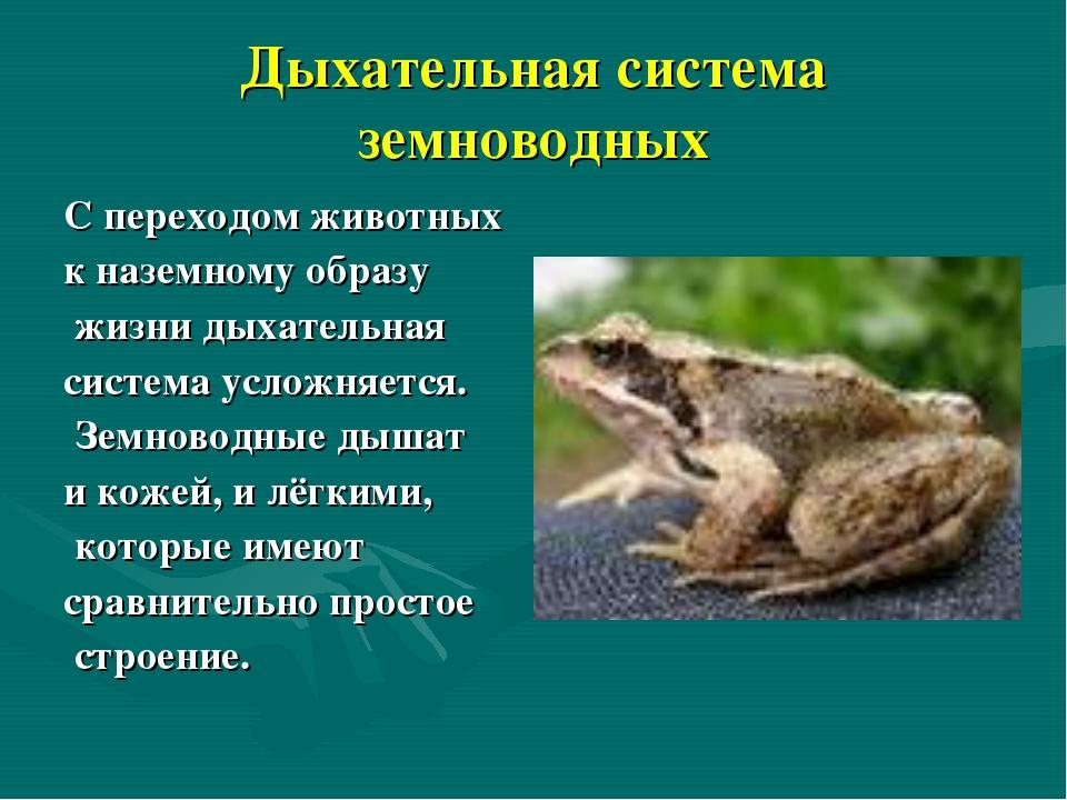 Дыхательная система земноводных С переходом животных к наземному образу жизни...