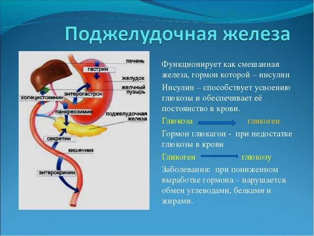 Функционирует как смешанная железа, гормон которой – инсулин Инсулин – способ...