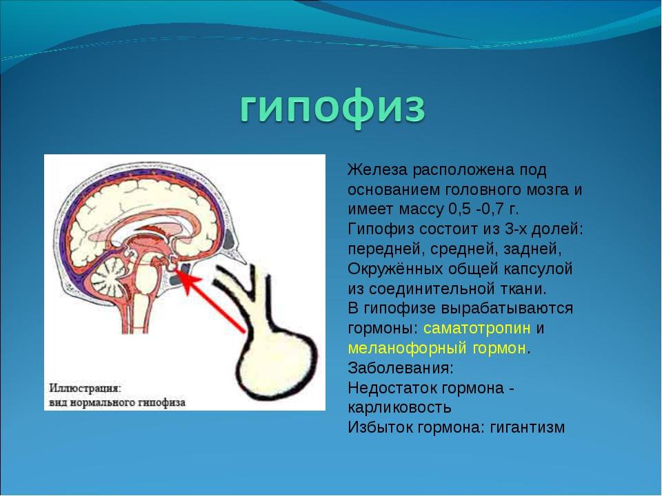 Железа расположена под основанием головного мозга и имеет массу 0,5 -0,7 г. Г...