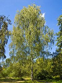 http://upload.wikimedia.org/wikipedia/commons/thumb/4/46/Betula_pendula_001.jpg/200px-Betula_pendula_001.jpg