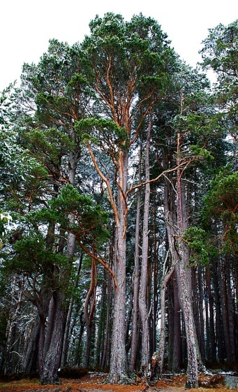 http://upload.wikimedia.org/wikipedia/commons/thumb/5/52/Pinus_sylvestris_Nethybridge.jpg/640px-Pinus_sylvestris_Nethybridge.jpg