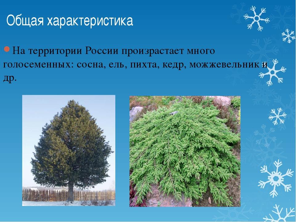 Общая характеристика На территории России произрастает много голосеменных: с...