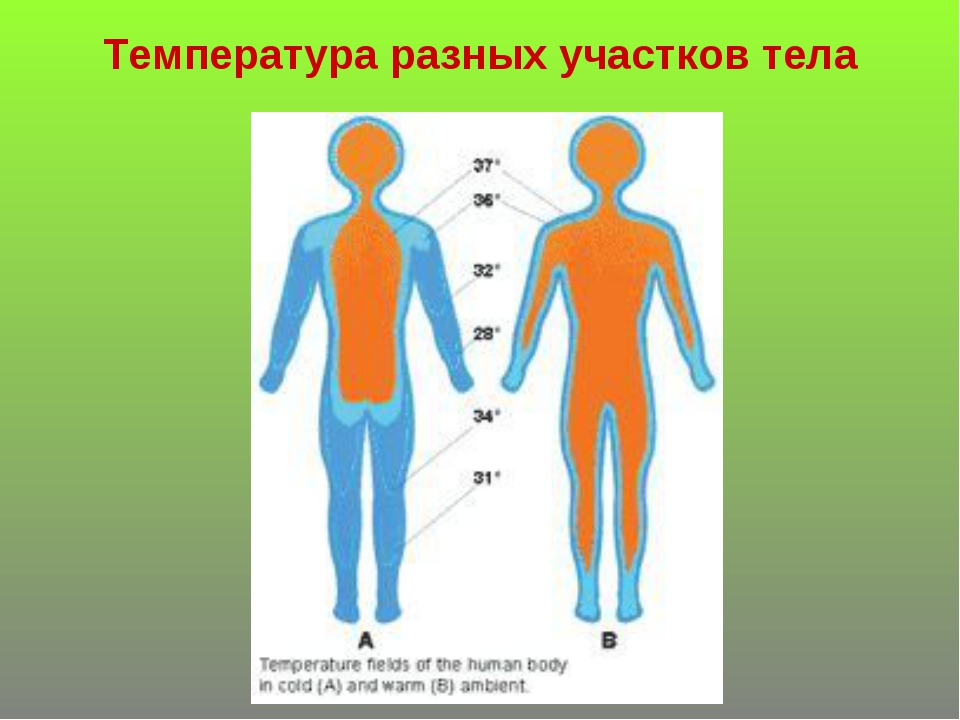 Температура разных участков тела