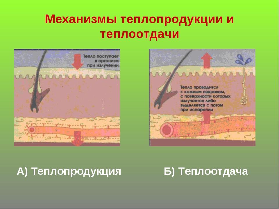 Механизмы теплопродукции и теплоотдачи А) Теплопродукция Б) Теплоотдача