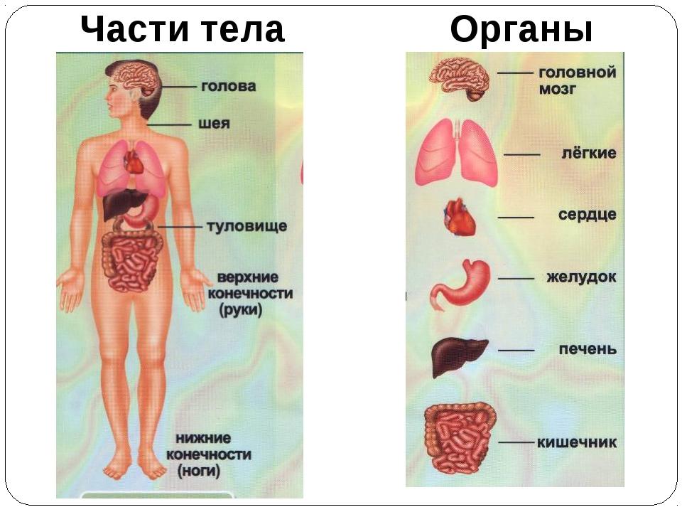 Внутреннее строение тела человека картинка для детей
