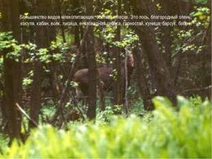 Большинство видов млекопитающих обитает в лесах. Это лось, благородный олень