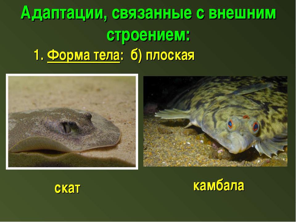 Адаптации, связанные с внешним строением: 1. Форма тела: б) плоская скат камб...