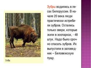 Зубры водились в ле- сах Белоруссии. В на- чале 20 века люди практически истр