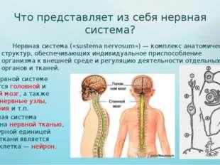 Что представляет из себя нервная система? Нервная система («sustema nervosum