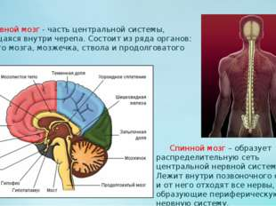Головной мозг - часть центральной системы, находящаяся внутри черепа. Состои